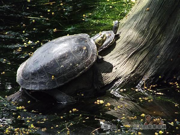 白石湖39-生態池舊貌-池中的烏龜探出頭來