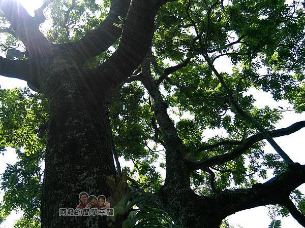 白石湖50-夫妻樹
