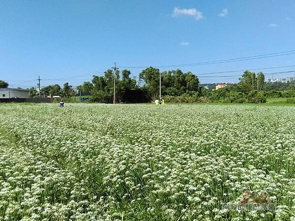 中新里韭菜生長專業區04-有如雪毯覆蓋般的韭菜花海