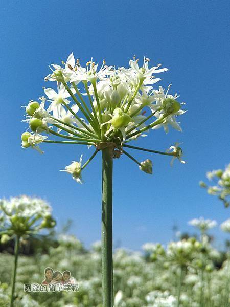 中新里韭菜生長專業區05-韭菜花與湛藍的天空