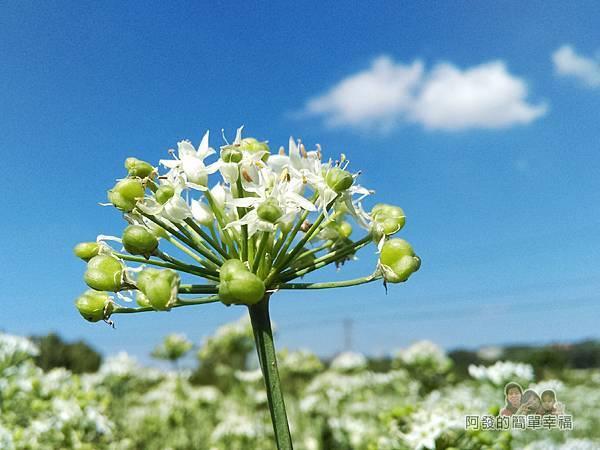 中新里韭菜生長專業區08-湛藍天空與白雲下含苞待放的韭菜花