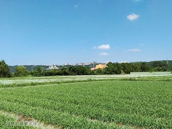 中新里韭菜生長專業區12-處處可見綠油油及雪毯般的韭菜田