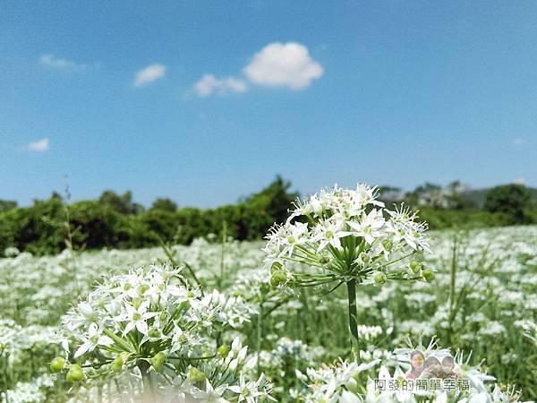 中新里韭菜生長專業區17-真是白花花的一大片