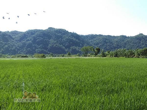 中新里韭菜生長專業區18-綠油油韭菜田與成群飛過的白鷺鷥