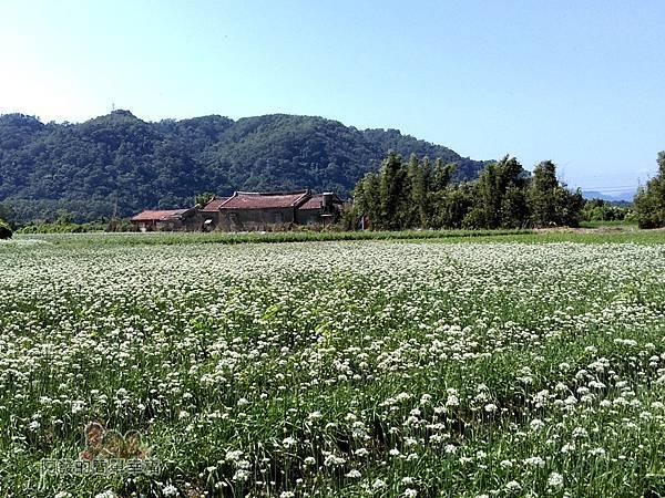 中新里韭菜生長專業區19-佇立於白色花海間的傳統三合院