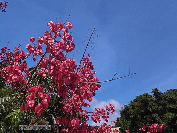 汶水老街-汶水茶壽03-盛開的台灣欒樹
