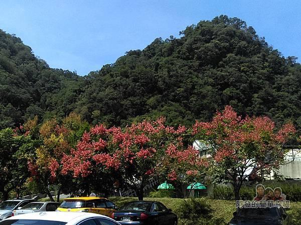 汶水老街-汶水茶壽02-充滿台灣欒樹盛開的風情