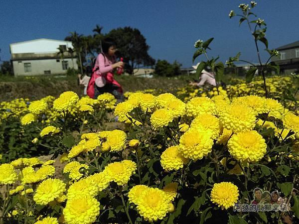 苗栗銅鑼杭菊季16-黃色杭菊花海一景