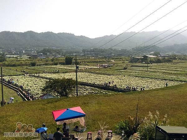 苗栗銅鑼杭菊季18-快到下方平原的白色杭菊花海