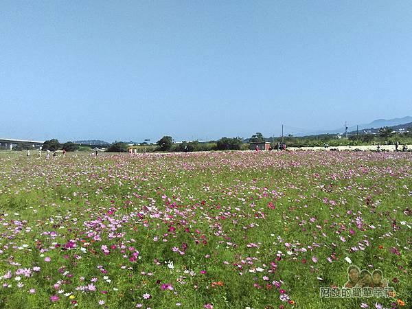 苗栗銅鑼杭菊季22-一旁也有一大片的波斯菊花海