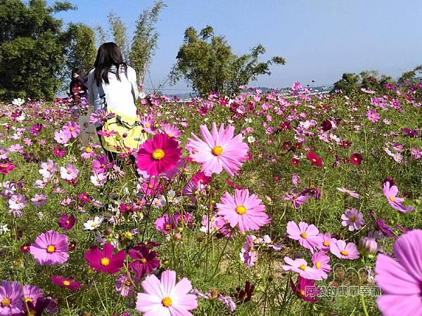苗栗銅鑼杭菊季03-展場外圍的波斯菊花海