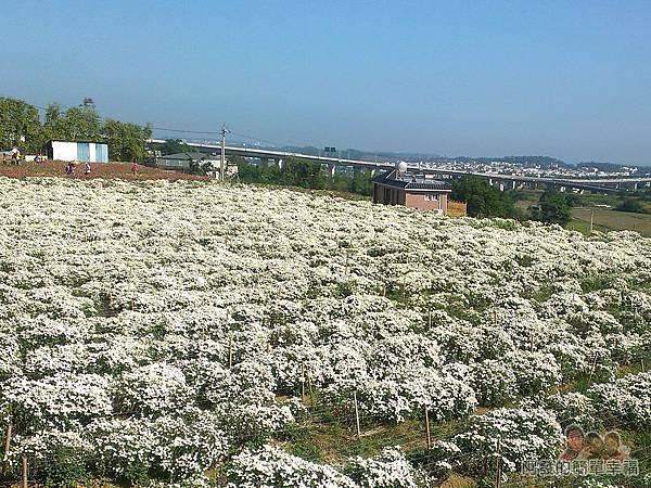 苗栗銅鑼杭菊季04-外圍的白色杭菊花海