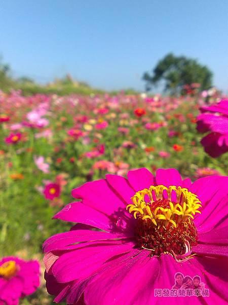 苗栗銅鑼杭菊季12-色彩豔麗的花朵