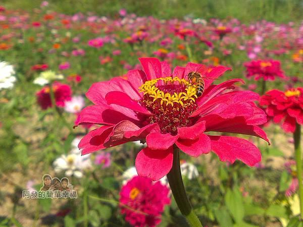 苗栗銅鑼杭菊季13-隨處可見蜜蜂採蜜