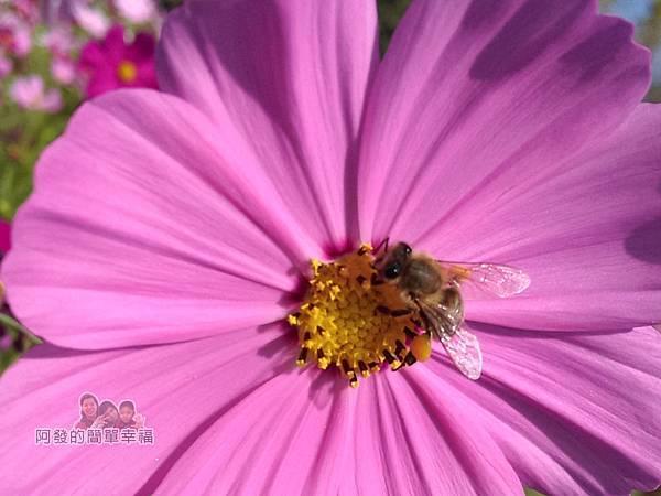苗栗銅鑼杭菊季14-蜜蜂採蜜特寫