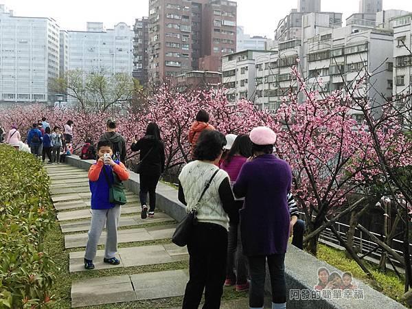 東湖樂活公園04-公園內一整排盛開的淺粉紅色櫻花樹