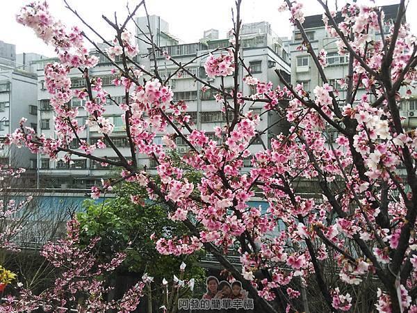 東湖樂活公園08-每棵寒櫻都開滿了櫻花
