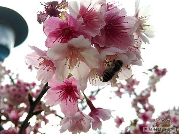 東湖樂活公園10-忙著採蜜的蜜蜂
