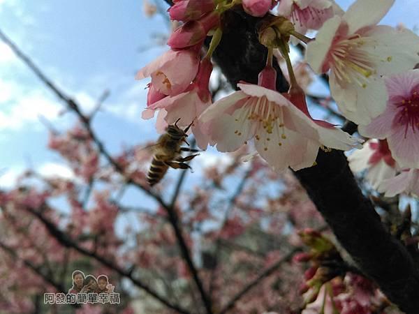 東湖樂活公園11-隨處可見採蜜的蜜蜂