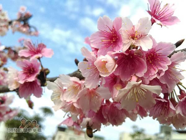 東湖樂活公園13-淡粉嬌嫩的寒櫻綻放