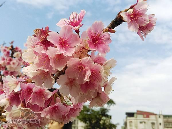 東湖樂活公園14-櫻花像爆米花般的綻放