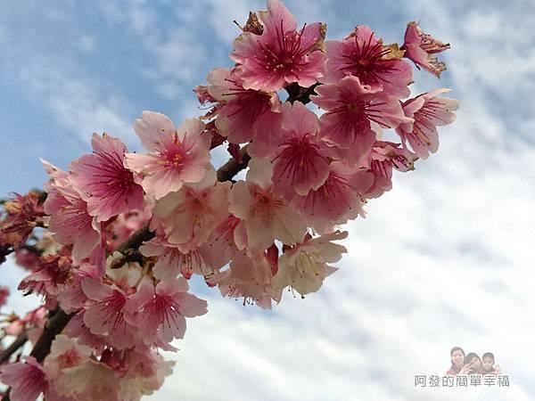 東湖樂活公園15-櫻花與藍天白雲相互輝映