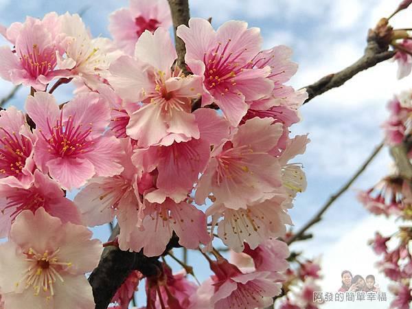 東湖樂活公園16-看起來柔美又嬌媚,粉嫩粉嫩的櫻花