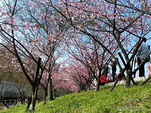 東湖樂活公園21-有如小型櫻花林隧道