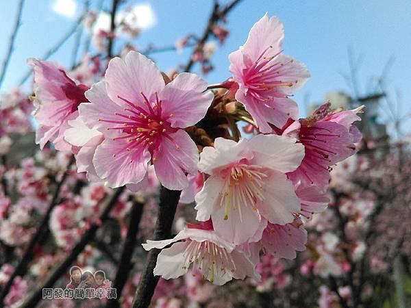 東湖樂活公園34-台北市內走春賞櫻的好景點