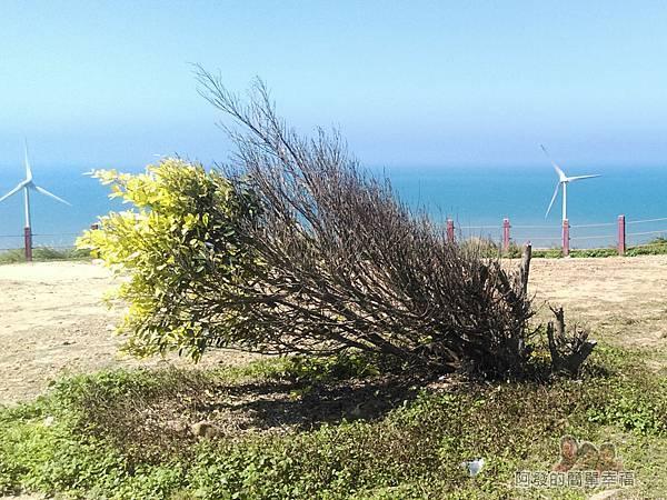 苗栗縣後龍-好望角08-斜著長的樹