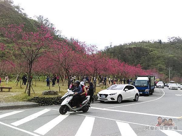 清水地熱02-長埤湖前的櫻花林人潮