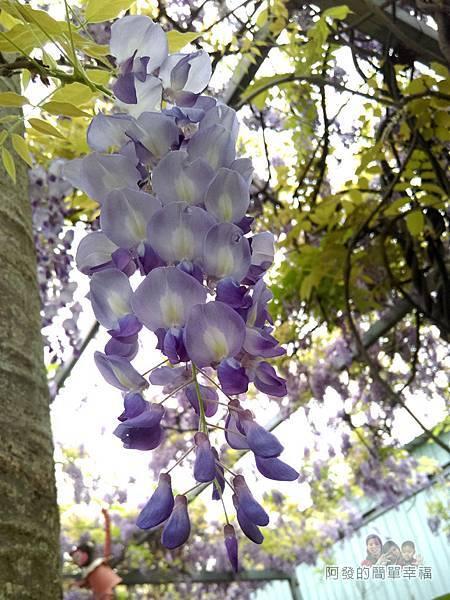 台北花卉村34-新娘禮車停車區-紫藤花特寫如一串串紫色風鈴