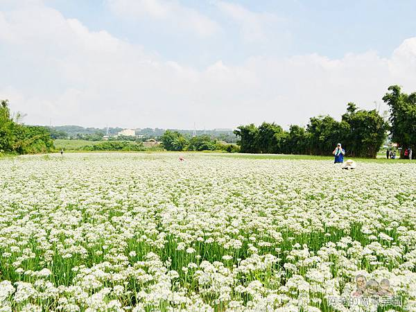 中新里韭菜花海06-大片的白色花海