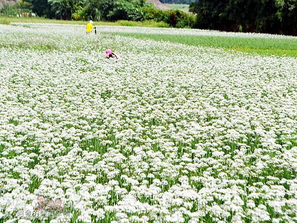 中新里韭菜花海11-有如白色花毯