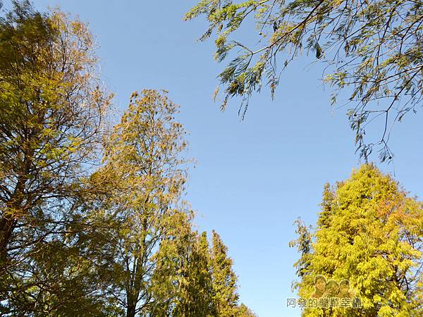 落羽松大道09-落羽松樹梢與藍天