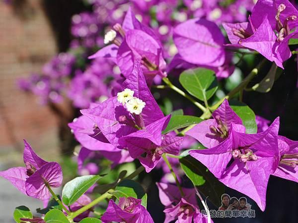 落羽松大道16-三合院門口前的紫色花叢特寫