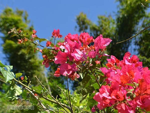 落羽松大道17-三合院門口前的紅色花叢
