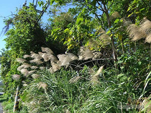 落羽松大道20-落羽松大道旁的芒草