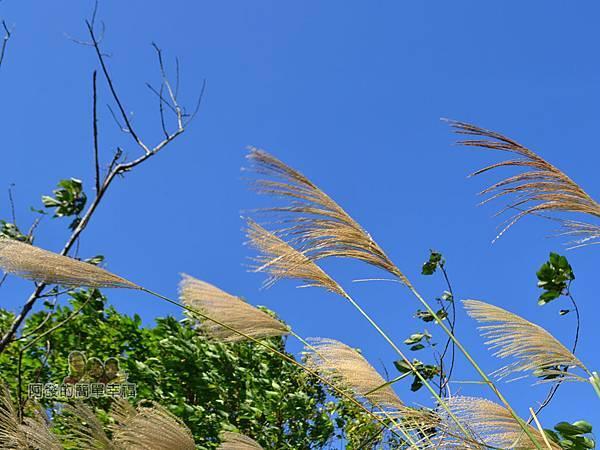 落羽松大道21-落羽松大道旁的芒草與藍天