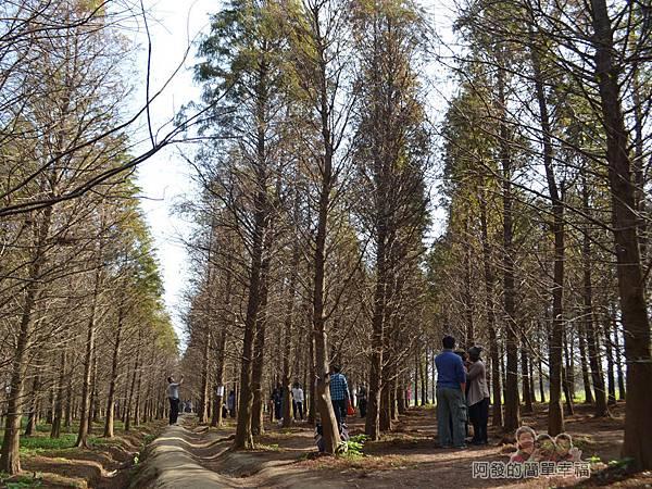 落羽松森林08-第一次置身於落羽松森林