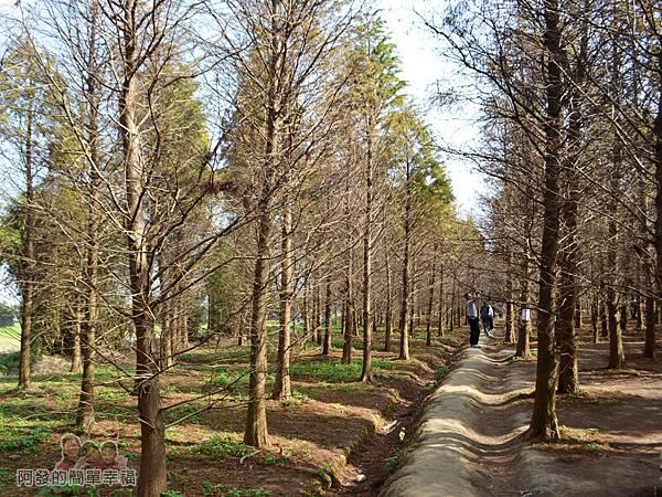 落羽松森林09-走在田梗上很有意境