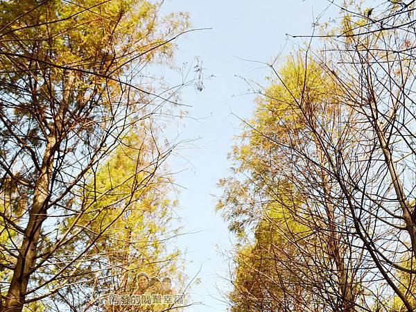 落羽松森林12-樹梢與藍天