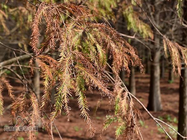 落羽松森林17-如羽毛般的落羽松葉