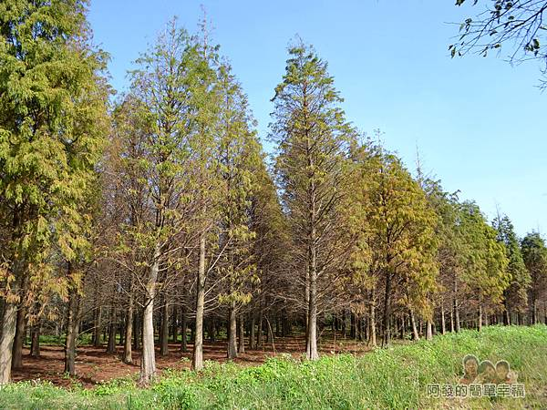 落羽松森林19-森林的尾端-綠漸染紅的落羽松