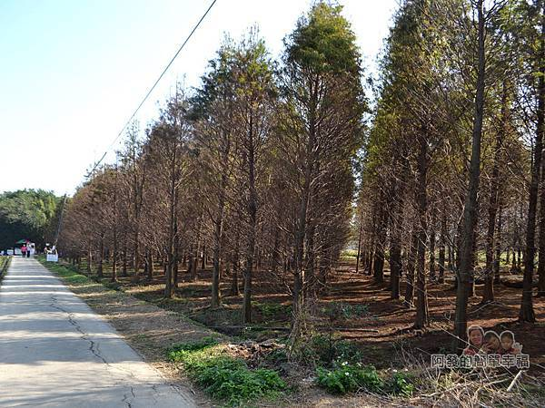 落羽松森林20-森林的尾端-回程回頭一景