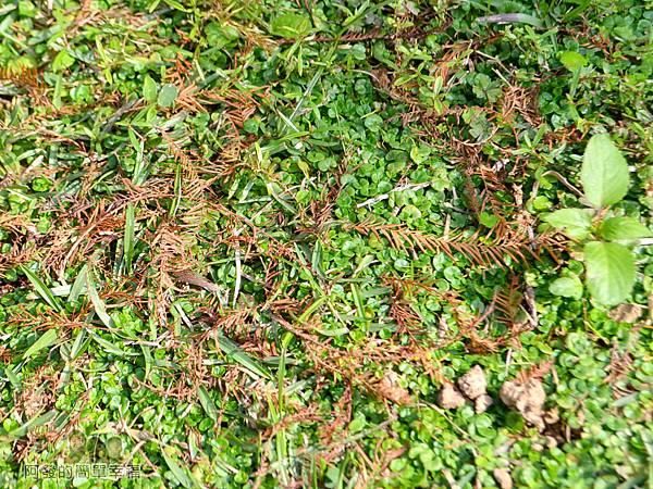 玉山公園05-草皮上的落羽松落葉