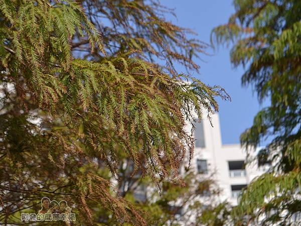 玉山公園10-樹梢上綠漸轉黃褐色的落羽松葉