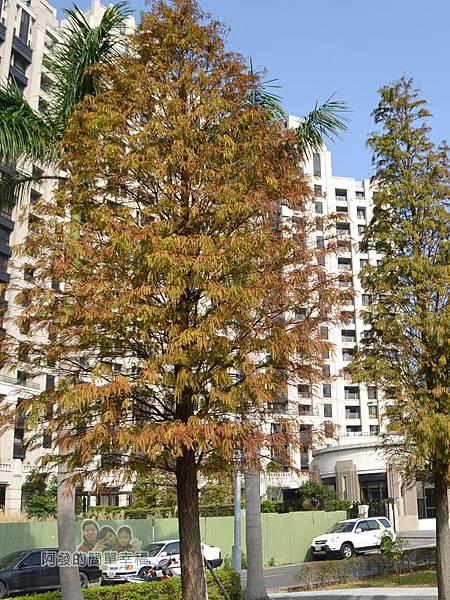 玉山公園12-已轉為紅褐色的落羽松