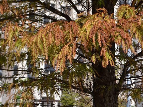 玉山公園13-樹梢上已轉黃褐色的落羽松葉