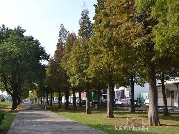 玉山公園02-右側草皮上種植了兩排落羽松